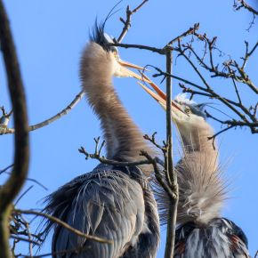 Heron Voyeurs Flock To Stanley Park : Courting, Mating, Feeding and Fighting
